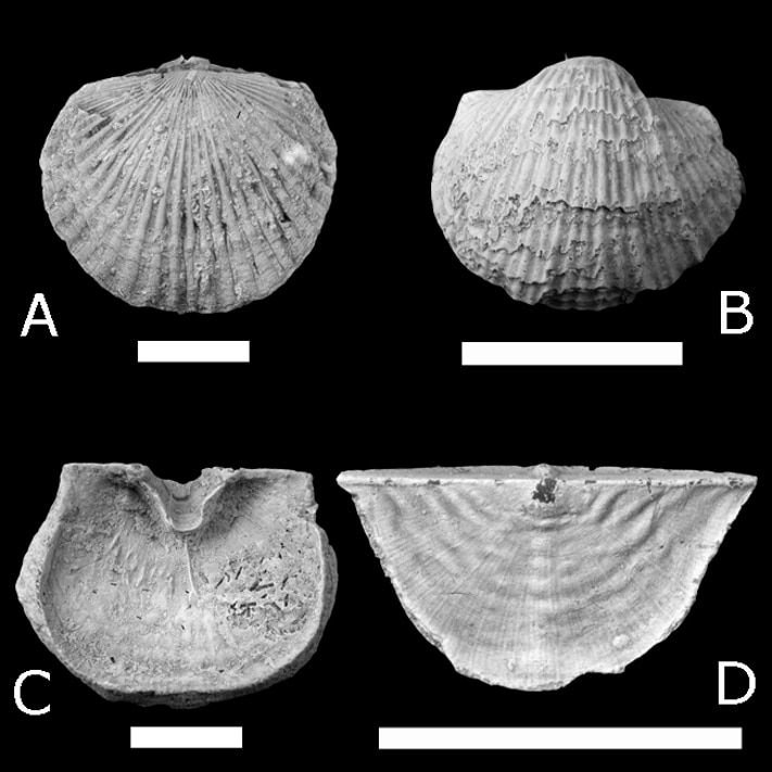 Four of the main brachiopod players in the GOBE in western Russia: A, Orthambonites calligramma (Dalman); B, Productorthis eminens (Pander); C, Iru concava (Pahlen); D, Ahtiella baltica Öpik. Scale bar 10 mm. Photographs: David Harper