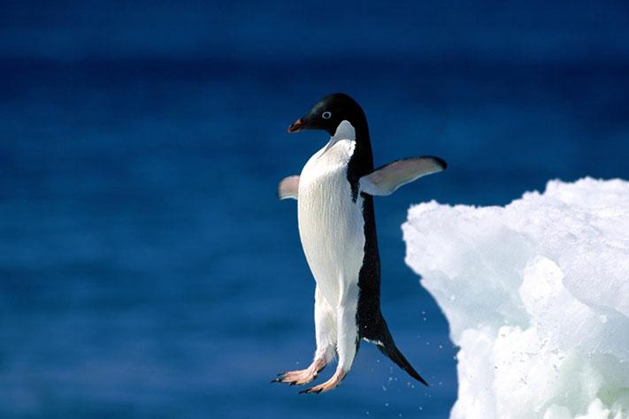 Fortsatt håp for Pingvin