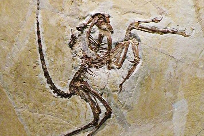 Archaeopteryx:  Fugl eller fjærkledd dinosaur?